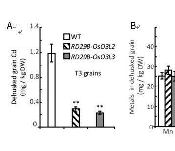 华南植物园发现水稻中过表达OsO3L2和OsO3L3全长和截断片段均可降低米粒中的镉积累